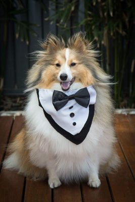 Sheltie in tux