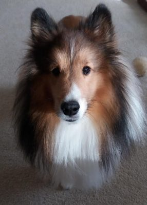 Sheltie in sun and shadow