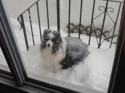 Snow covered Sheltie