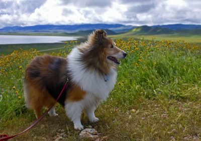 Sheltie in wildflowers