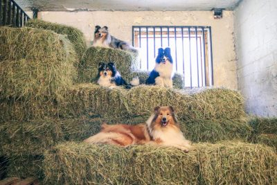 Shelties on hay bales