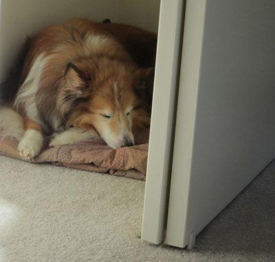 Sheltie in closet