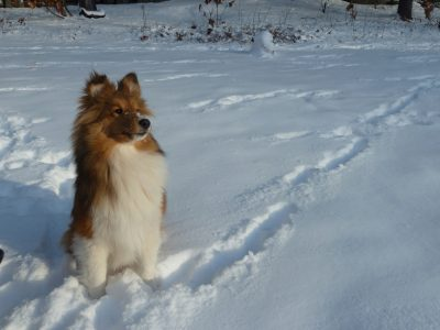 Sheltie posing in snow