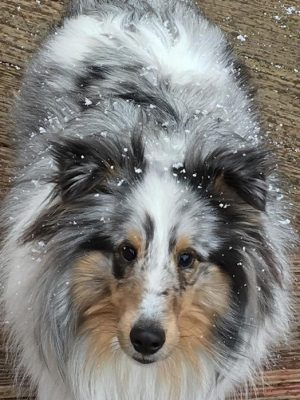 frosted sheltie