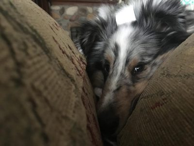 Sheltie tucked in couch