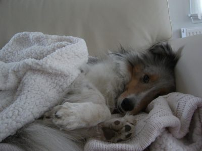 napping Sheltie