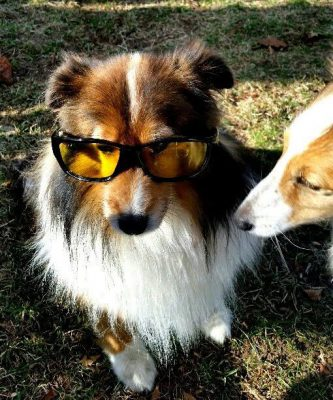 Sheltie in safety glasses