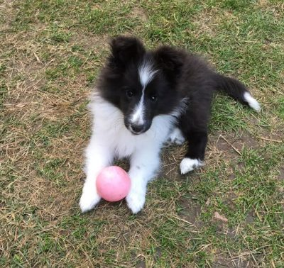 Sheltie puppy with ball