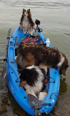 Shelties on kayak
