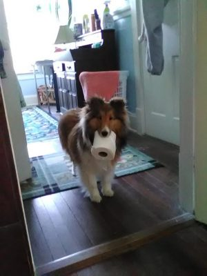Sheltie bringing TP