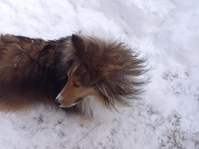 Sheltie in wind and snow