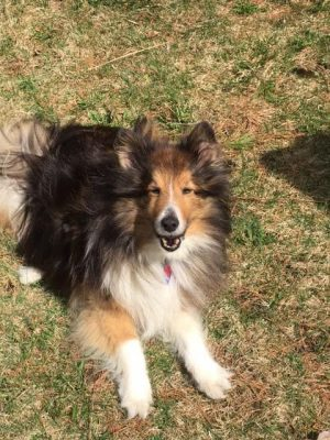 Sheltie in yard