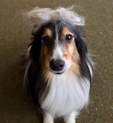 Sheltie with hair on head