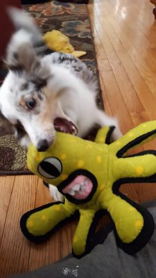 Sheltie puppy and toy