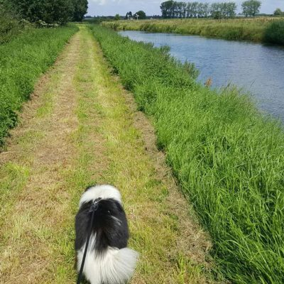 Sheltie walking along canal