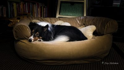 Sheltie in big bed