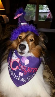 Sheltie birthday hat