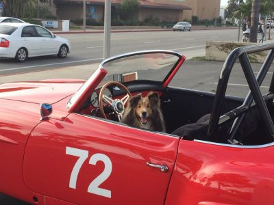 Sheltie in race car