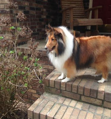 Sheltie near shubs