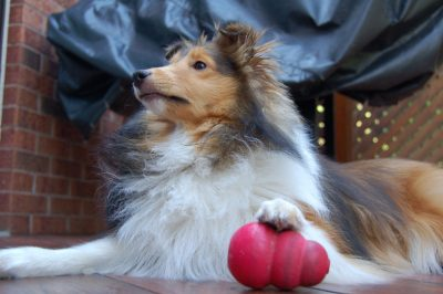 Sheltie with paw on kong