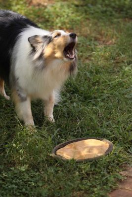 Sheltie barking at toy
