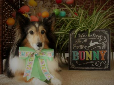 Sheltie on easter