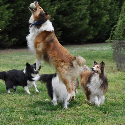 Sheltie jumping for ball