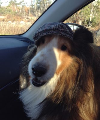 Sheltie wearing cap