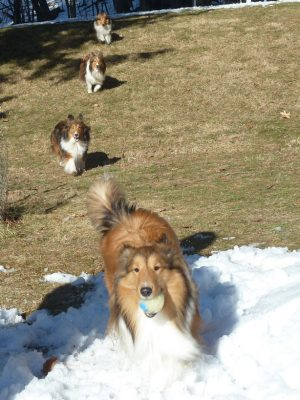 Shelties running in line