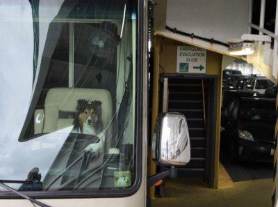 Sheltie on ferry