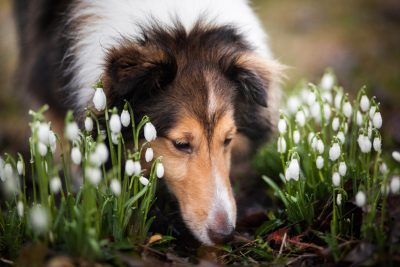 Sheltie and flowers