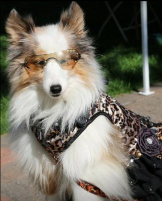 Sheltie dressed up