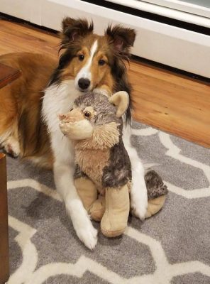 Sheltie and torn toy