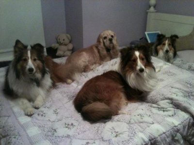 Shelties in bed