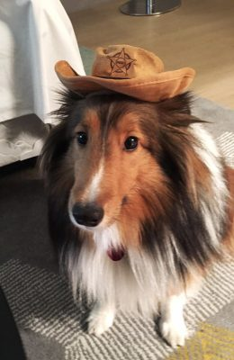 Sheltie in cowboy hat