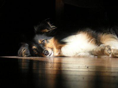 Sheltie in sunbeam