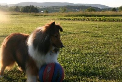 Sheltie with ball at sunset