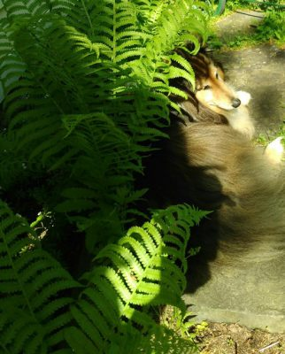 Sheltie in ferns