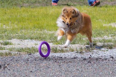 Sheltie chasing toy