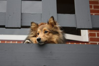 Sheltie watching