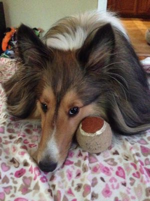 Sheltie sulking