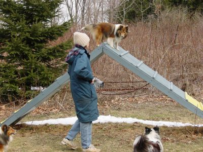 Sheltie on A-frame