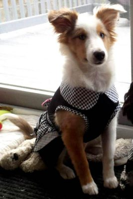 Sheltie in dress