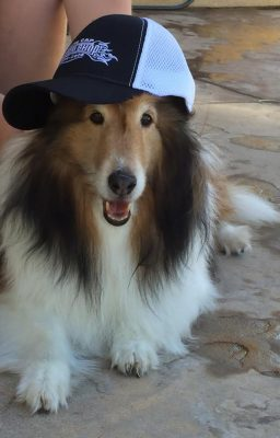 Sheltie in baseball hat