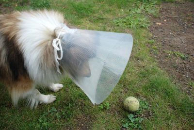 Sheltie in cone trying to get ball