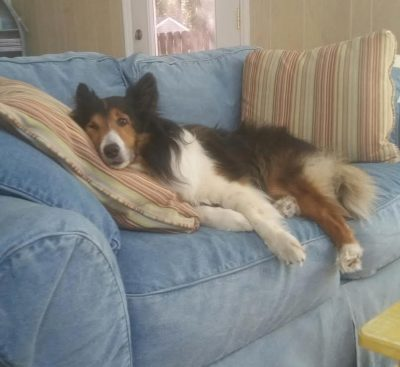Sheltie on the couch