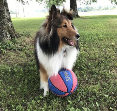 Sheltie and ball