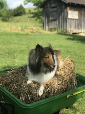 Sheltie on hay bale