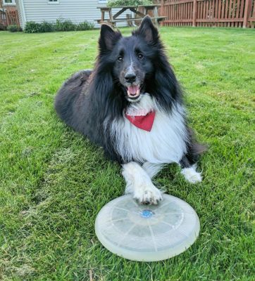 Sheltie with foot on frisbee