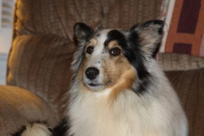 Skeptical Sheltie expression